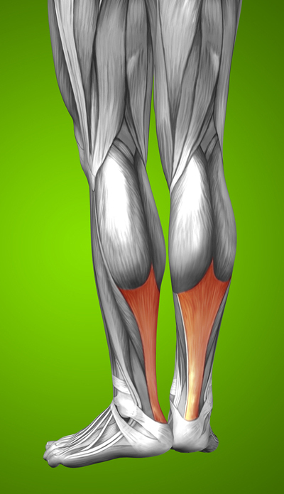 Illustration of human leg muscles with the Achilles Tendon highlighted